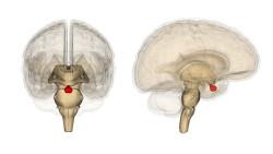 1394171084_gipofiz-mozga-cheloveka